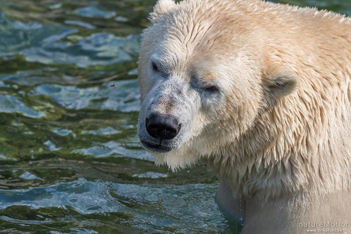 Eisbär, Ursus maritimus, Ursidae, mit Wespe, Zoo Hannover, captive, Hannover, Deutschland
