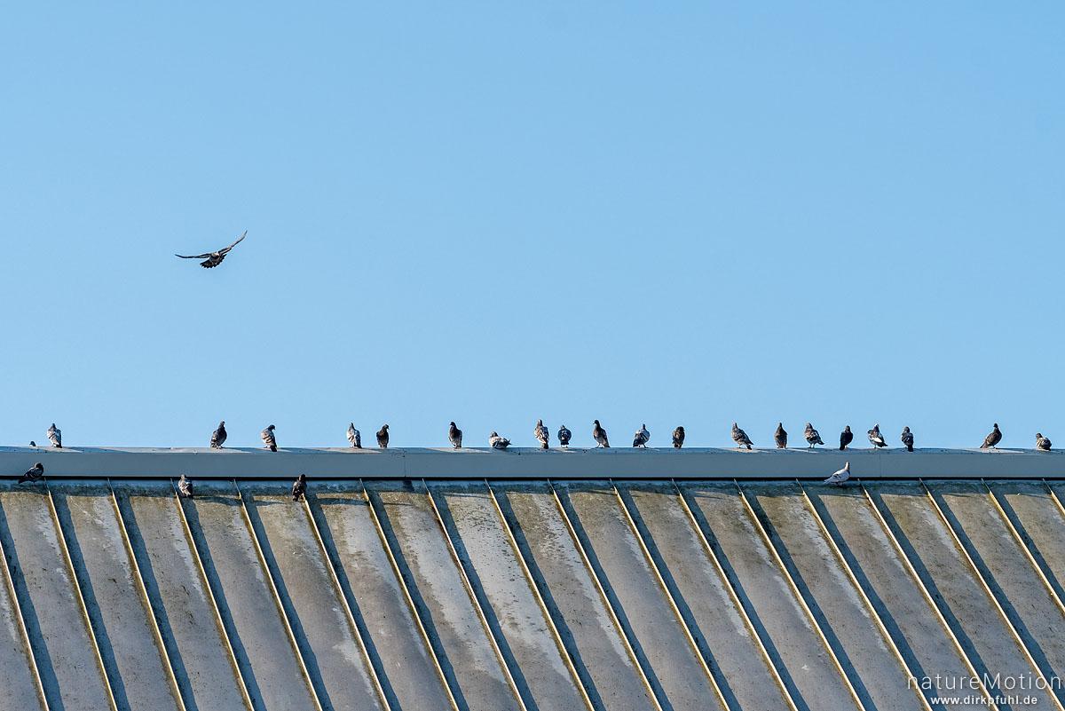 Haustaube, Felsentaube, Columba livia, Columbidae, Gruppe sitzt in einer Reihe auf Dachfirst, Göttingen, Deutschland