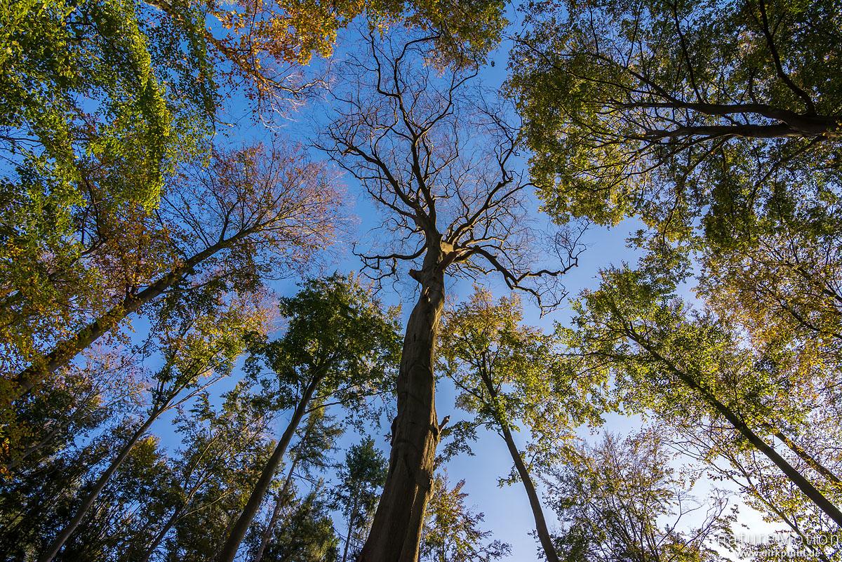 Rot-Buche, Fagus sylvatica, Fagaceae, abgestorbener Baum, vermutlich aufgrund seines Alters, Hasenwinkel, Reinhausen bei Göttingen, Deutschland