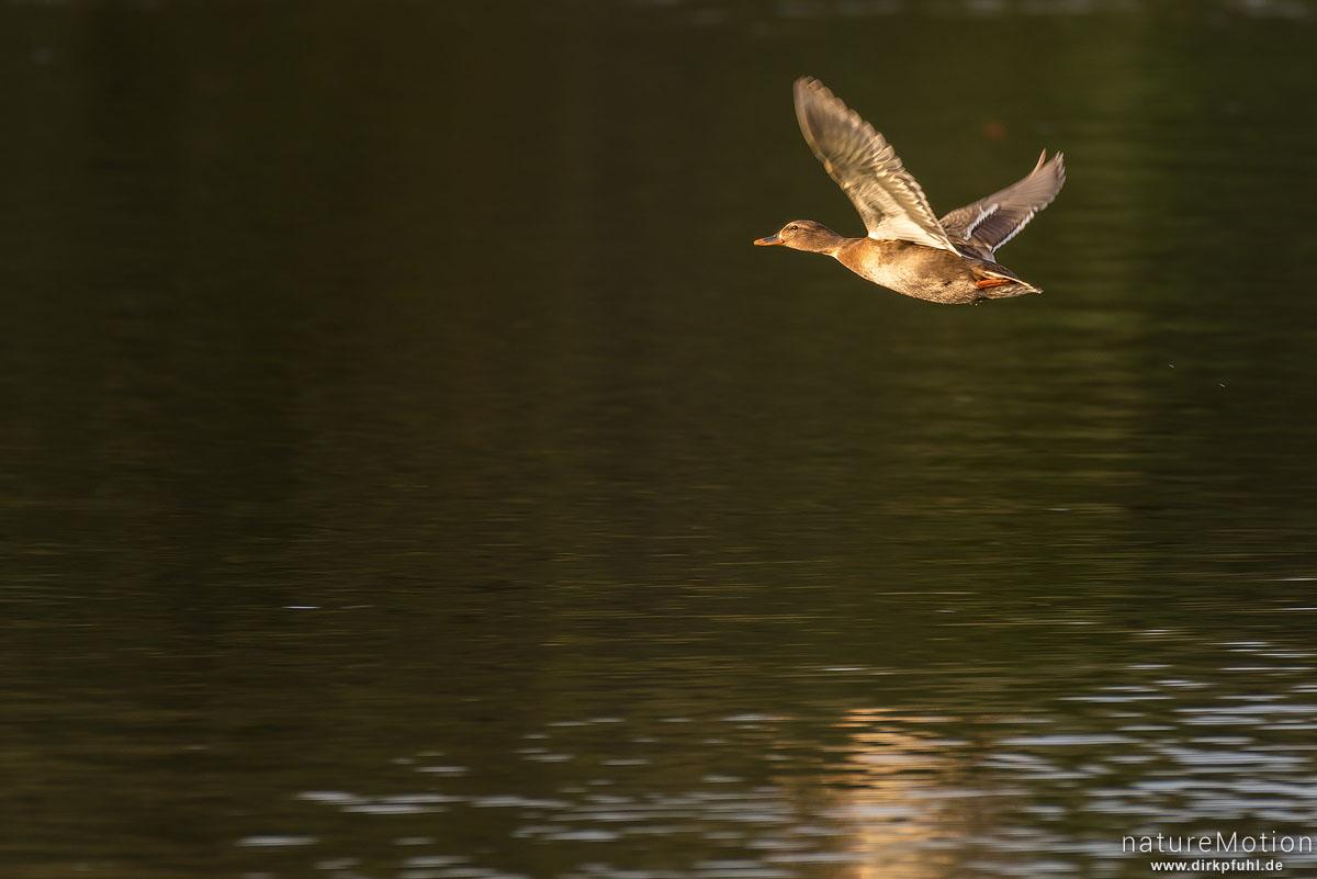 Stockente, Anas platyrhynchos, Anatidae, Weibchen, fliegt dicht über der Wasseroberfläche, Kiesee, Göttingen, Deutschland