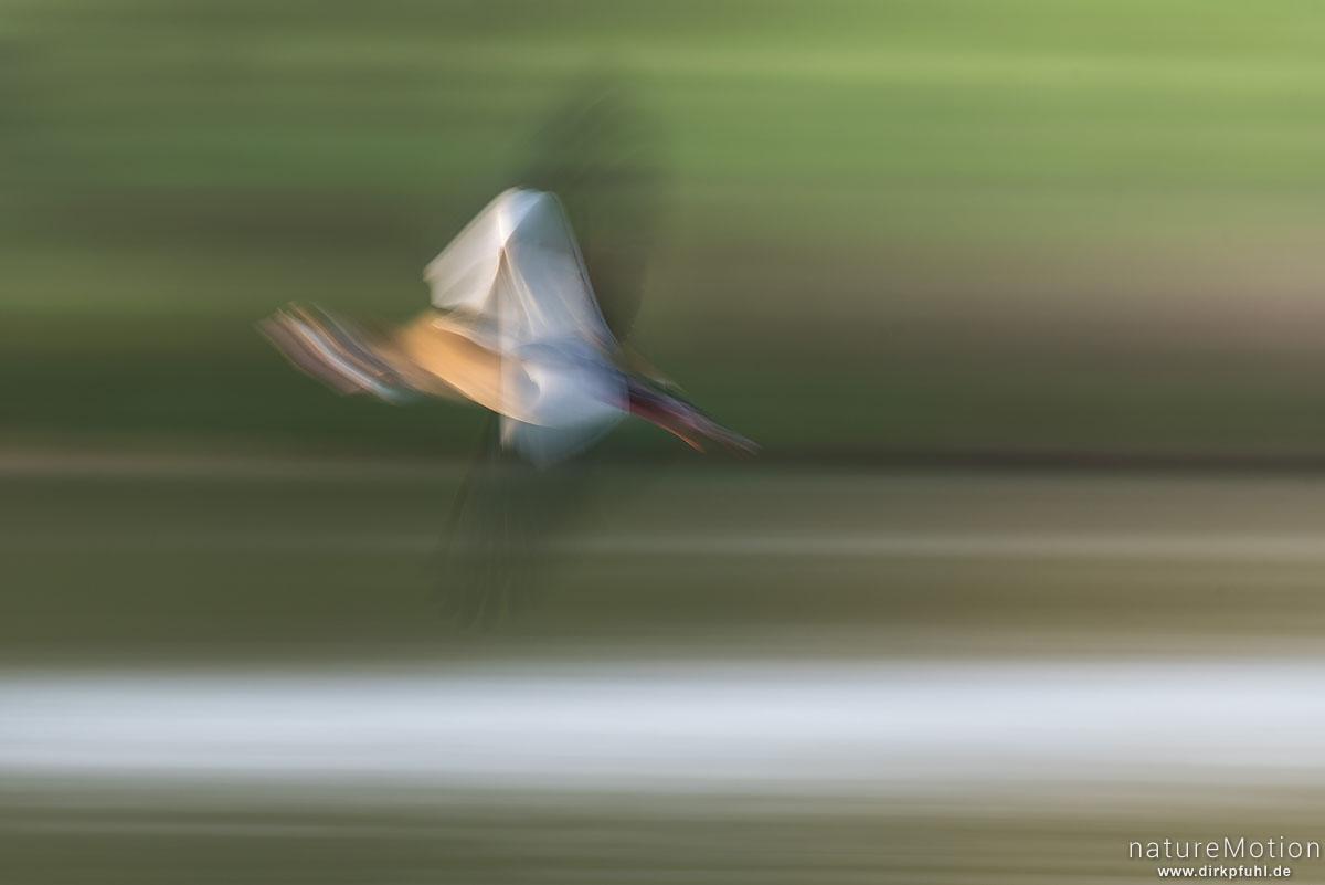Nilgans, Alopochen aegyptiacus, Entenvögel (Anatidae), fliegendes Tier, Kiessee, Göttingen, Deutschland