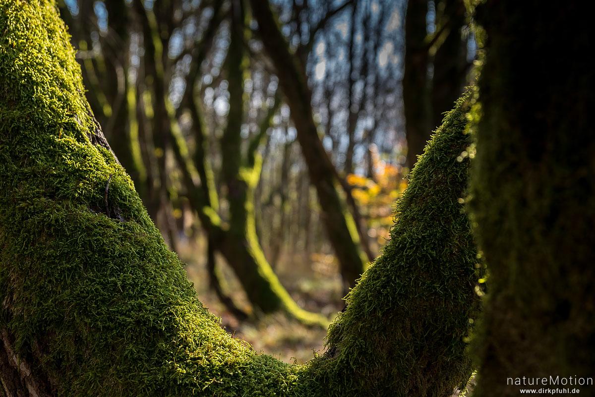 moosbewachsene Baumstämme, Hoher Meißner, Deutschland