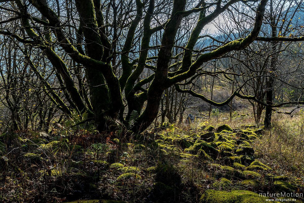 moosbewachsener Baumstamm zwischen Feldblöcken, Hoher Meißner, Deutschland