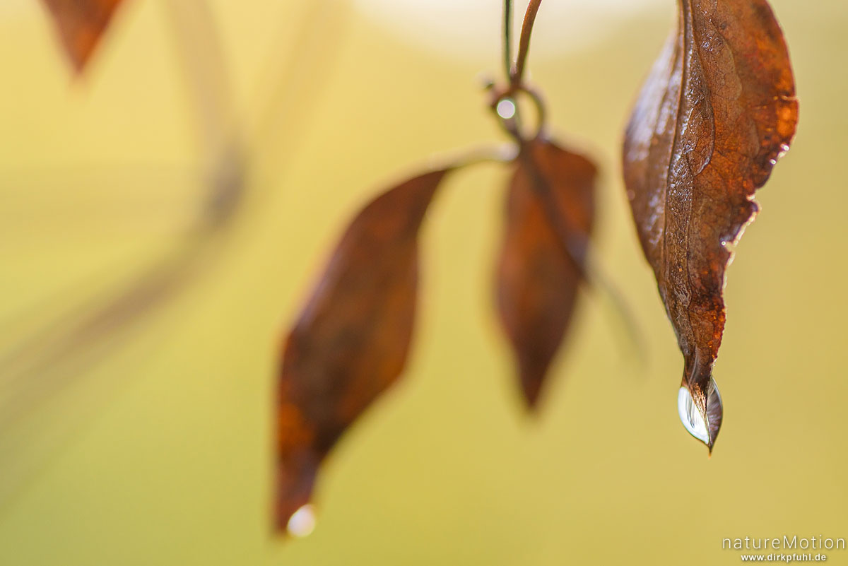 Waldrebe, Clematis vitalba, Ranunculaceae, vertrocknetes Herbstblatt mit Wassertropfen, Göttingen, Deutschland
