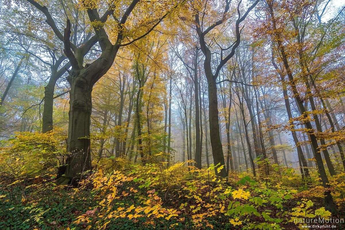Rot-Buche, Fagus sylvatica, Fagaceae, Herbstwald, Buchenwald mit Herbstlaub, Nebel, Göttinger Wald, Göttingen, Deutschland