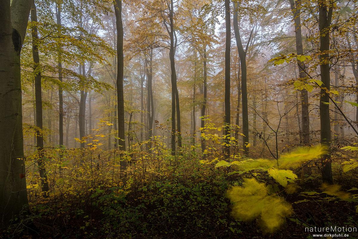 Herbstwald, Buchenwald mit Herbstlaub, Nebel, Göttinger Wald, Göttingen, Deutschland