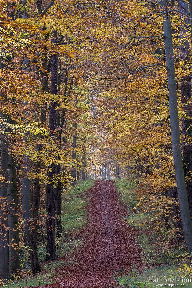 Waldweg durch Herbstwald, laubbedeckt, Göttinger Wald, Göttingen, Deutschland