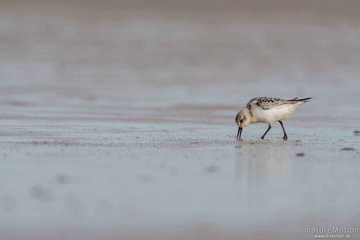 Sanderling, Calidris alba, Schnepfenvögel (Scolopacidae), Nahrungssuche im Spülsaum, Spiekeroog, Deutschland