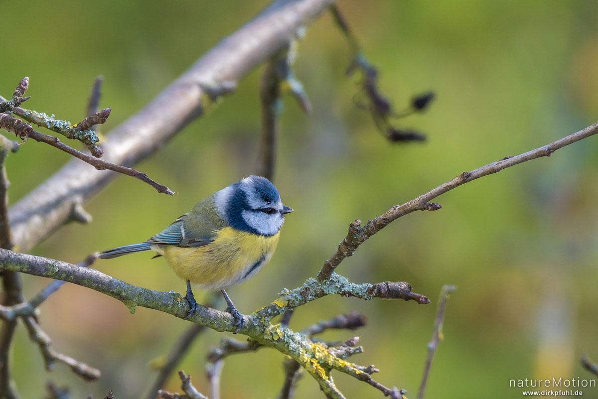 Blaumeise, Cyanistes caeruleus, Syn. Parus caeruleus, Meisen (Paridae),auf Nahrungssuche im Geäst eines Apfelbaums, Göttingen, Deutschland