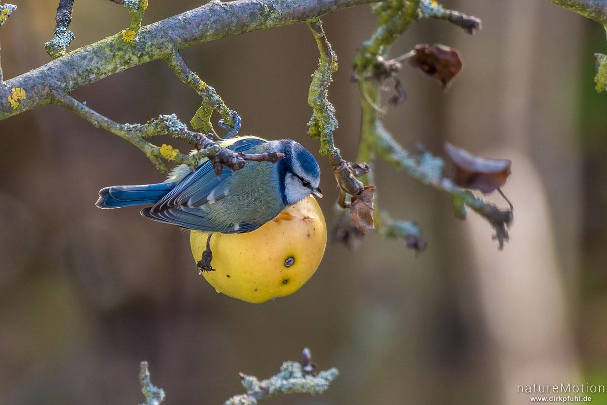 Blaumeise, Cyanistes caeruleus, Syn. Parus caeruleus, Meisen (Paridae) frisst an hängen gebliebenem Apfel, Göttingen, Deutschland