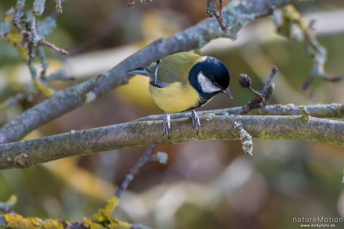 Kohlmeise, Parus major, Meisen (Paridae), auf Nahrungssuche im Geäst eines Apfelbaums, Göttingen, Deutschland