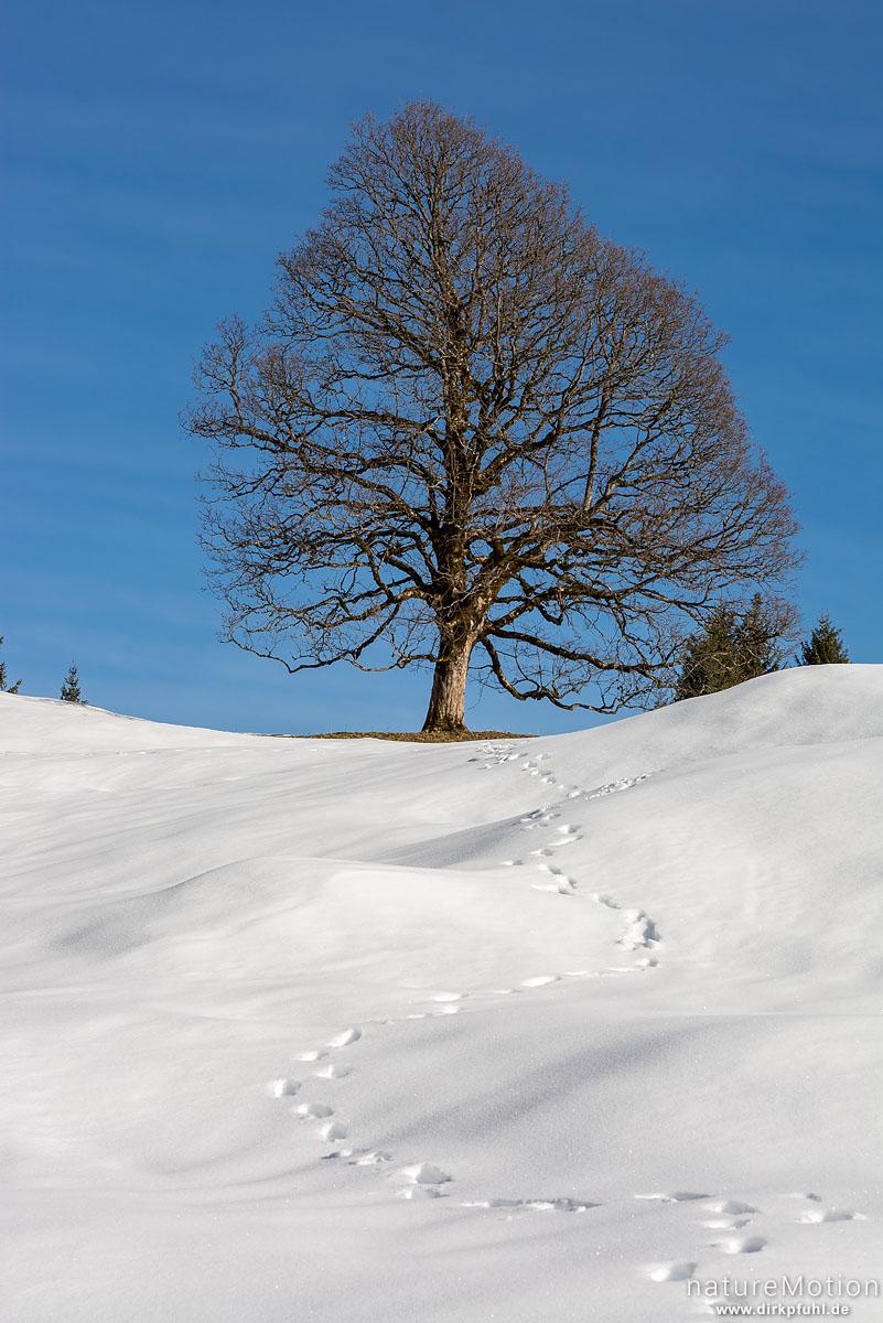 Berg-Ahorn, Acer pseudoplatanus, Aceraceae, einzeln stehender Baum im Schnee, Hochlaite, Oberstdorf, Deutschland