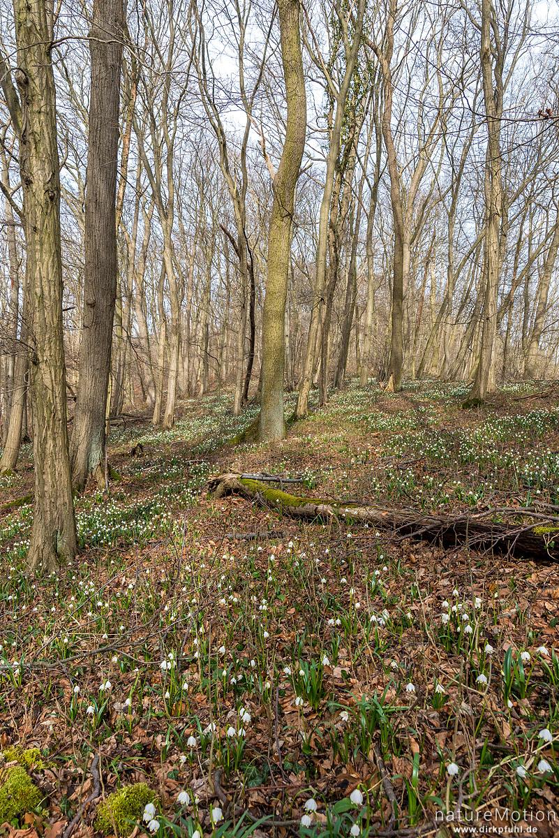 Märzenbecher, Leucojum vernum, Amaryllidaceae, dichter Bestand am Westerberg, Göttingen, Deutschland