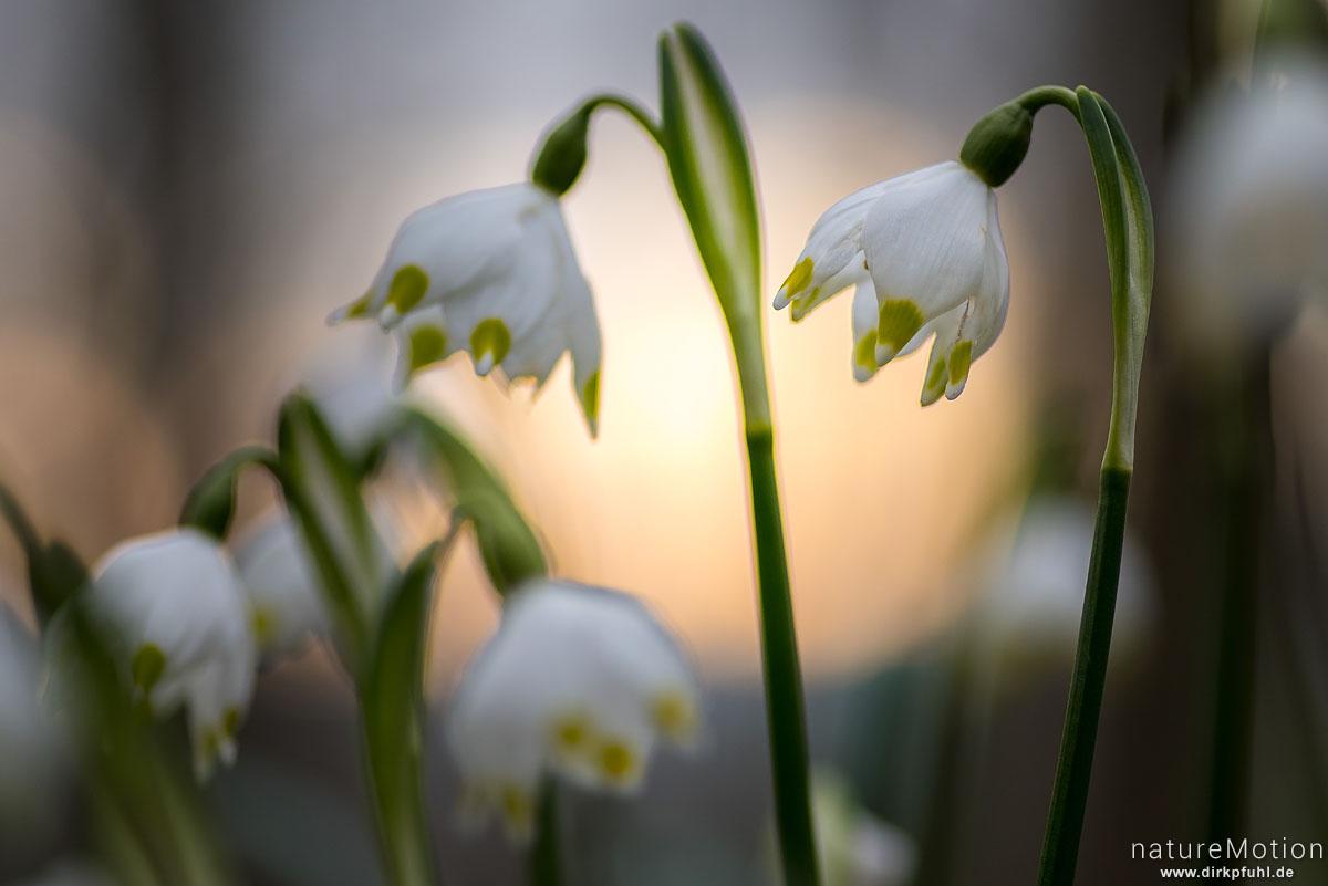 Märzenbecher, Leucojum vernum, Amaryllidaceae, Blüten im Gegenlicht, Westerberg, Göttingen, Deutschland