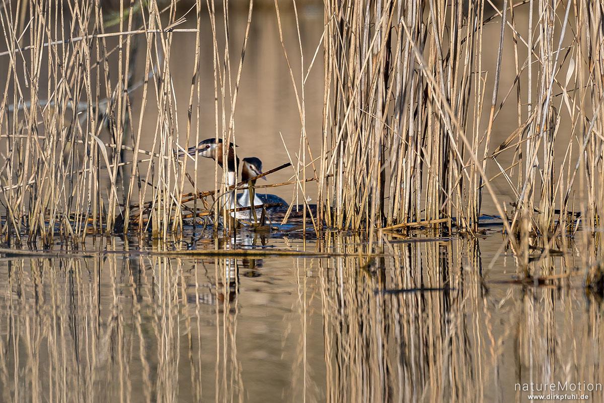 Haubentaucher, Podiceps cristatus, Podicipedidae, Paar baut Nest im Schilfgürtel, Seeburger See, Deutschland