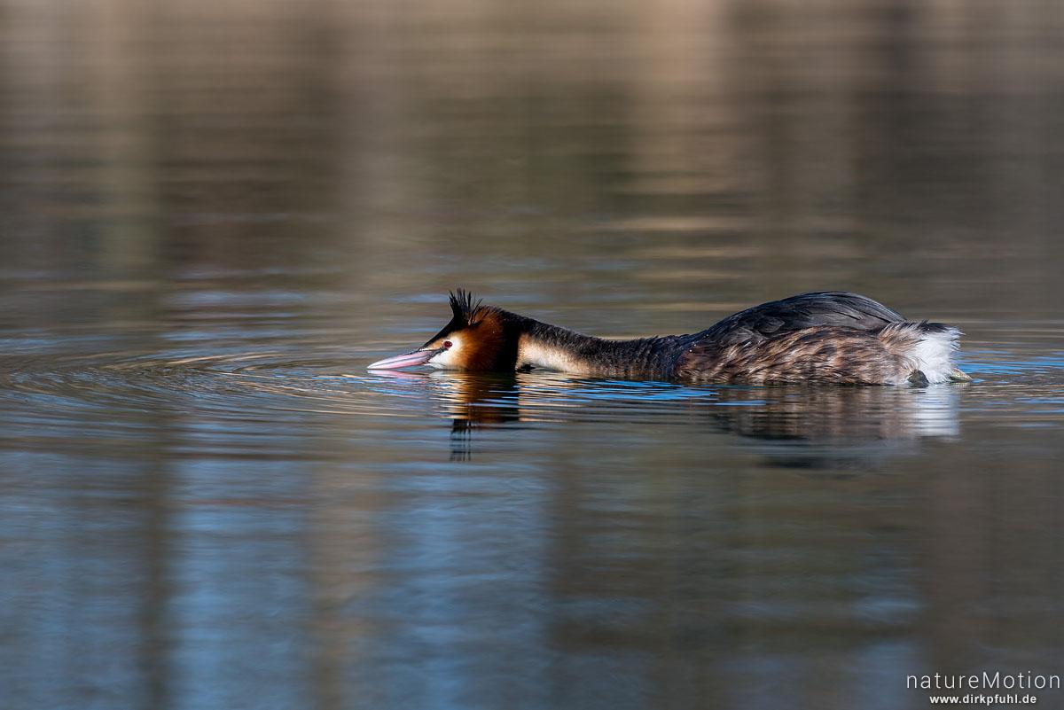 Haubentaucher, Podiceps cristatus, Podicipedidae, schwimmendes Tier, Revierverhalten, Seeburger See, Deutschland