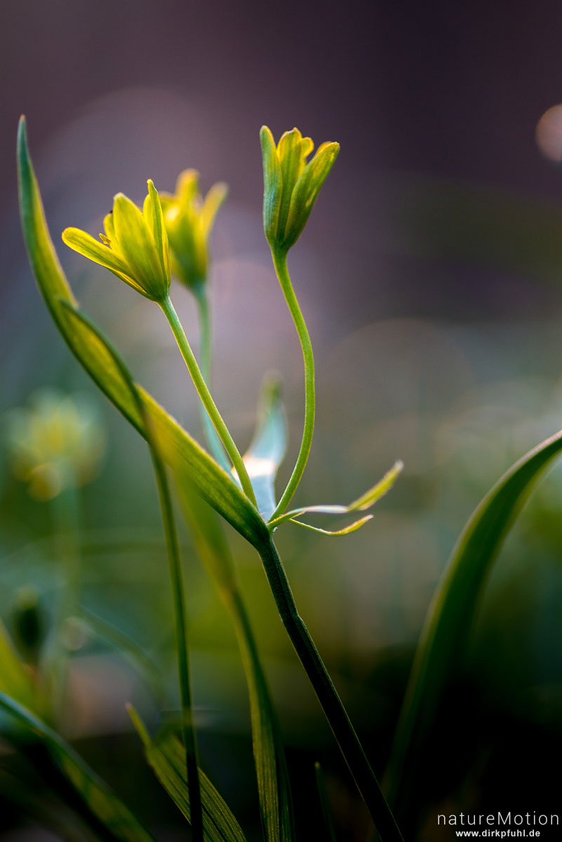 Wald-Gelbstern, Gagea lutea, Liliengewächse (Liliaceae), blühende Pflanze, Westerberg, Göttingen, Deutschland