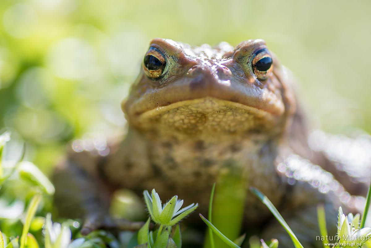 Erdkröte, Bufo bufo, Bufonidae, Tier auf Wanderung zum Laichgewässer, Ossenfeld, Dransfeld, Deutschland