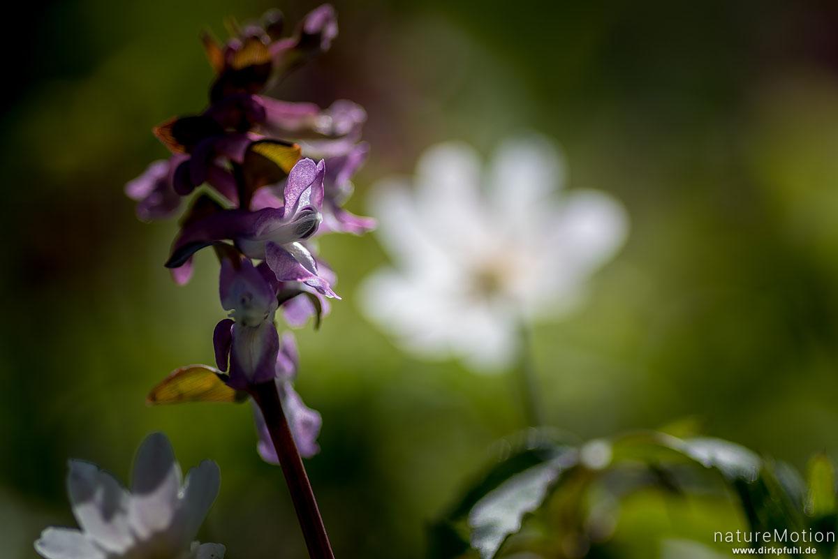 Hohler Lerchensporn, Corydalis cava, Fumariaceae, Blütenstand, Groner Holz/In der Straut, Göttingen, Deutschland