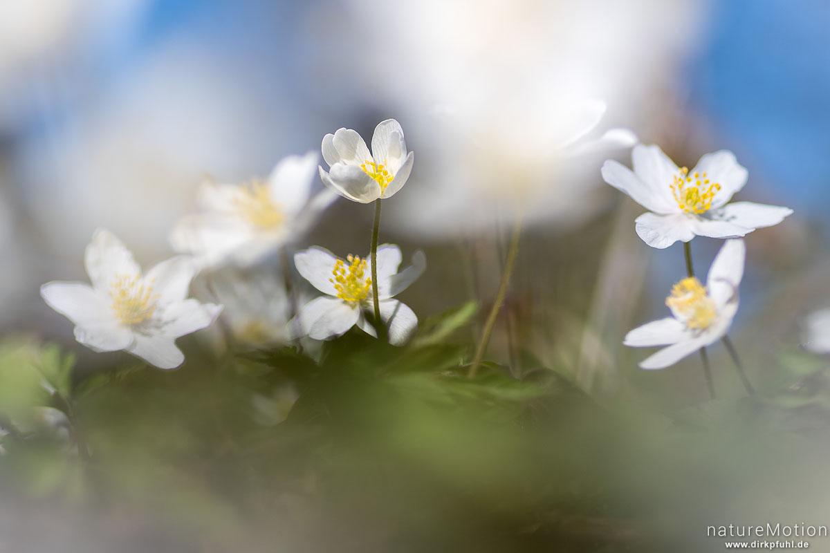 Buschwindröschen, Anemone nemorosa, Ranunculaceae, Blüten, Groner Holz/In der Straut, Göttingen, Deutschland