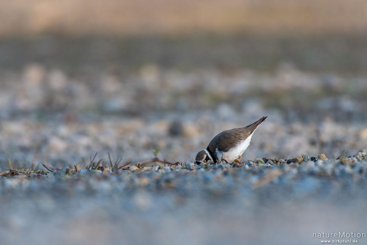 Flussregenpfeifer, Charadrius dubius, Regenpfeifer (Charadriidae), Tier auf Nahrungssuche, Rosdorfer Baggersee, Göttingen, Deutschland