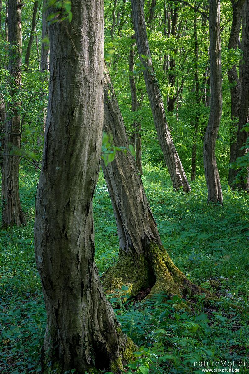 Stämme von Hainbuchen im Frühlingswald, Westerberg, Göttingen, Deutschland