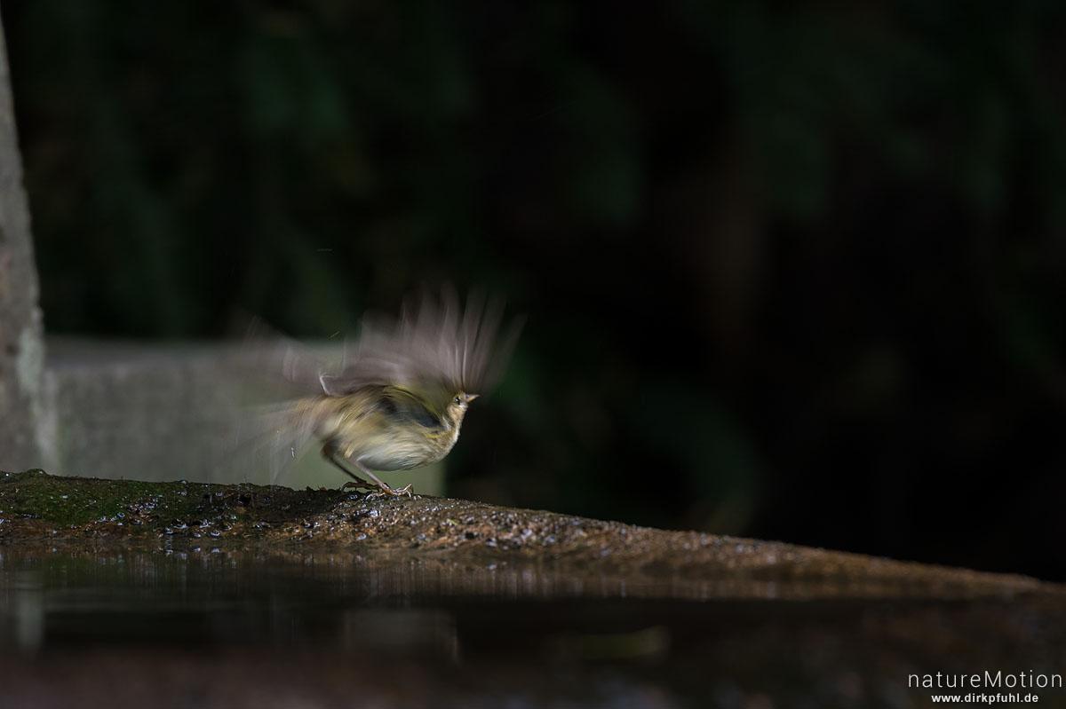 Fitis, Phylloscopus trochilus, Laubsängerartige (Phylloscopidae), Tier an Badestelle, fliegt ab, Stadtfriedhof, Göttingen, Deutschland