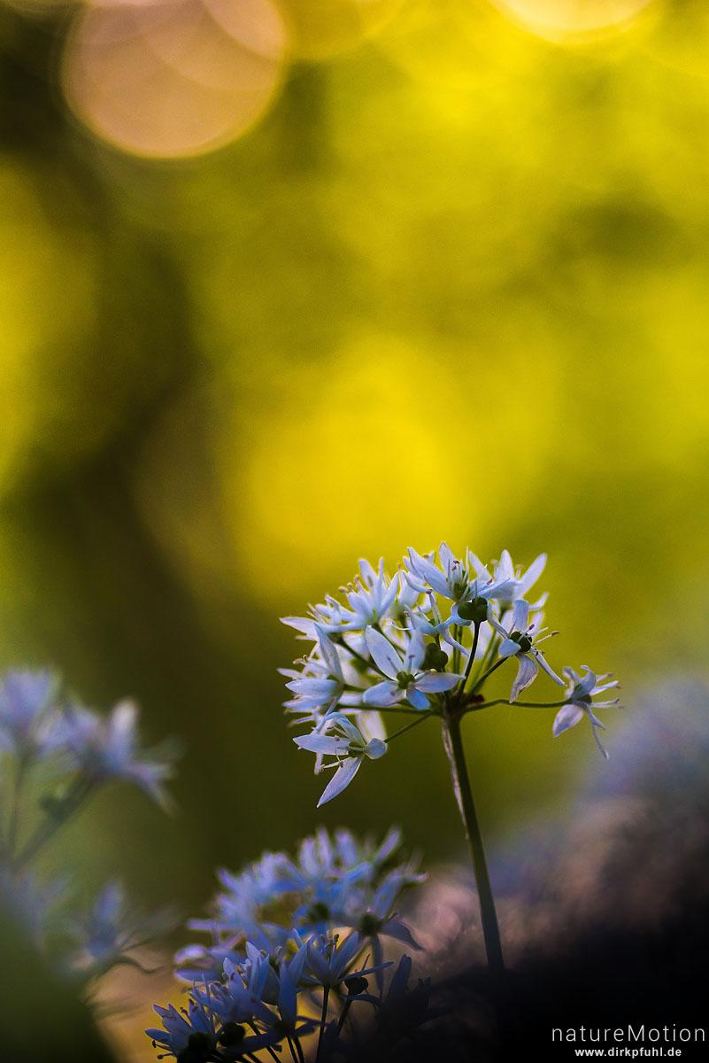Bärlauch, Allium ursinum, Liliaceae, blühende Pflanzen, Westerberg, Göttingen, Deutschland