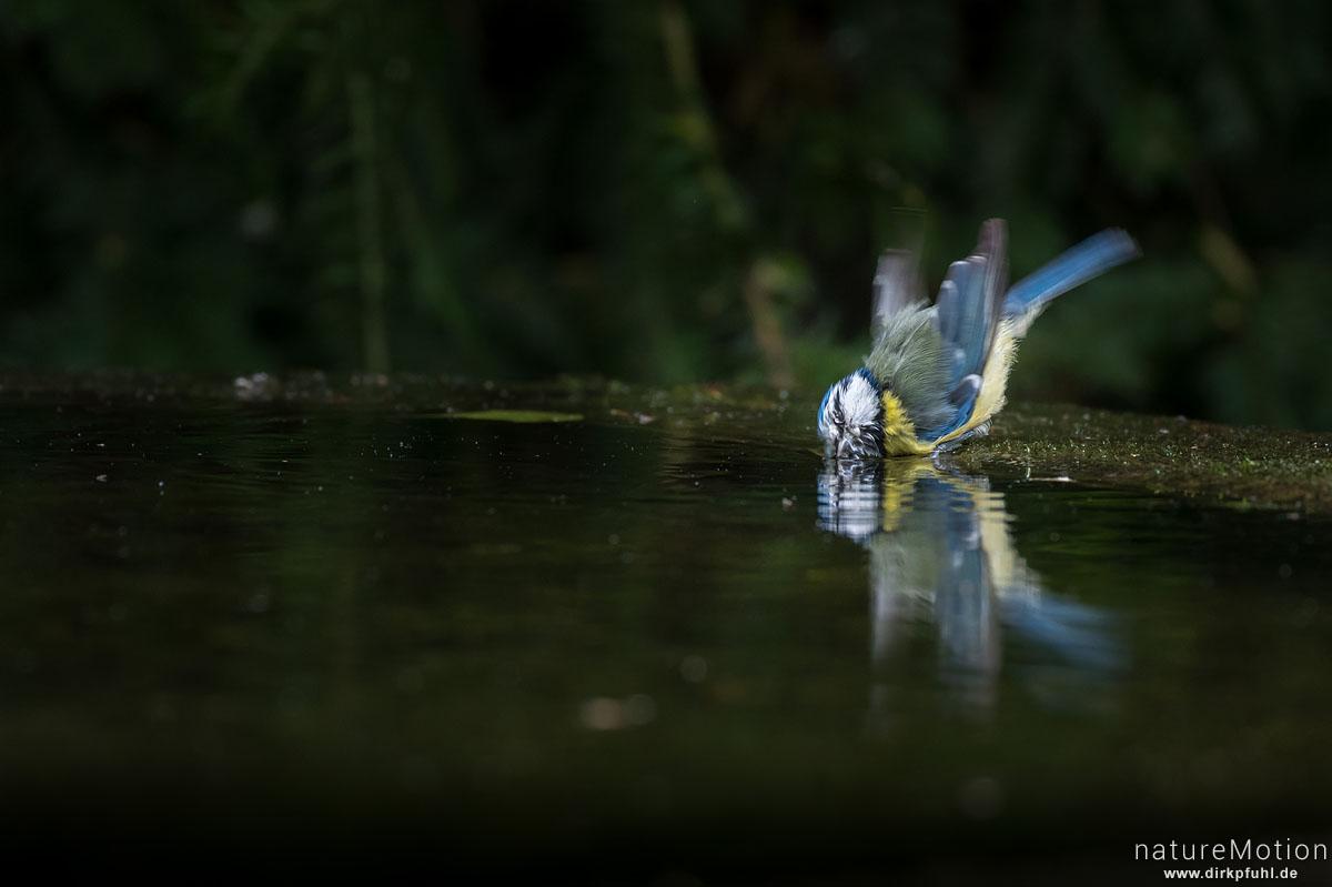 Blaumeise, Cyanistes caeruleus, Syn. Parus caeruleus, Meisen (Paridae),Tier an Badestelle, Stadtfriedhof, Göttingen, Deutschland