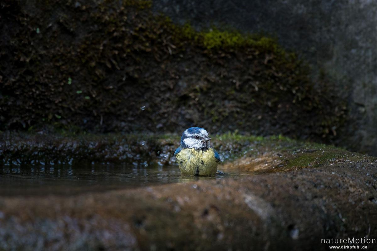Blaumeise, Cyanistes caeruleus, Syn. Parus caeruleus, Meisen (Paridae),Tier beim Baden, Brunne, Stadtfriedhof, Göttingen, Deutschland
