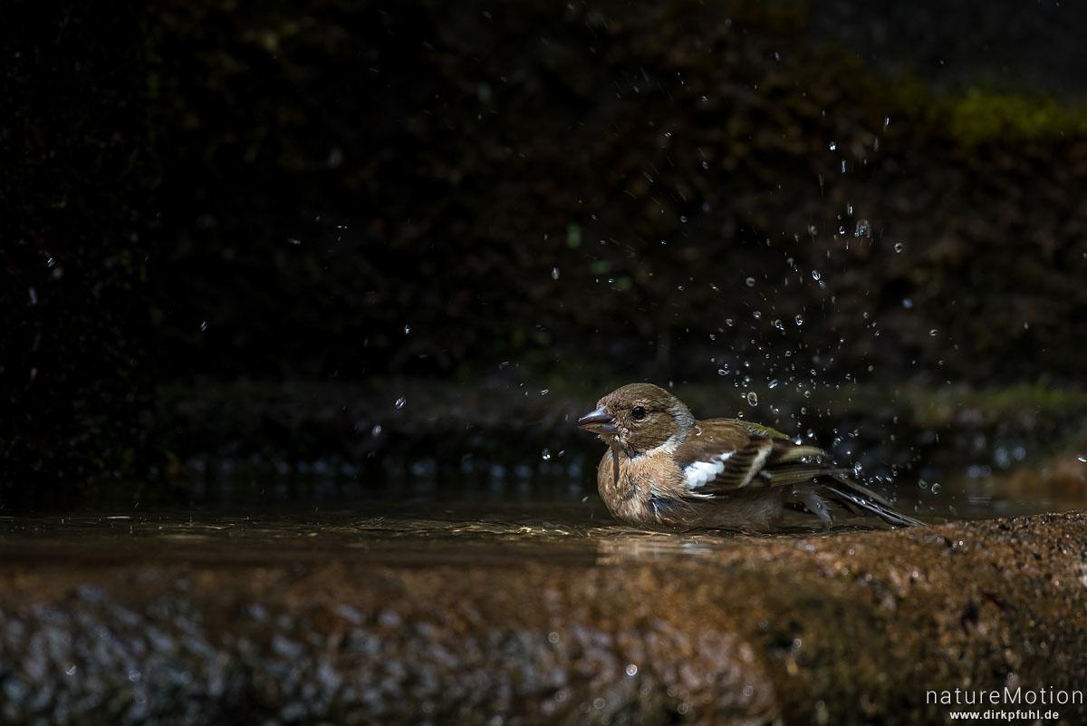 Buchfink, Fringilla coelebs, Finken (Fringillidae), Weibchen, Tier badet in Brunnen, Stadtfriedhof, Göttingen, Deutschland
