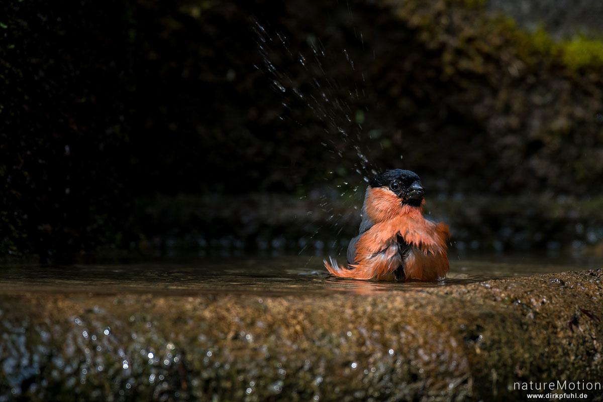 Dompfaff, Gimpel, Pyrrhula pyrrhula, Finken (Fringillidae), Tier beim Baden, Brunne, Stadtfriedhof, Göttingen, Deutschland