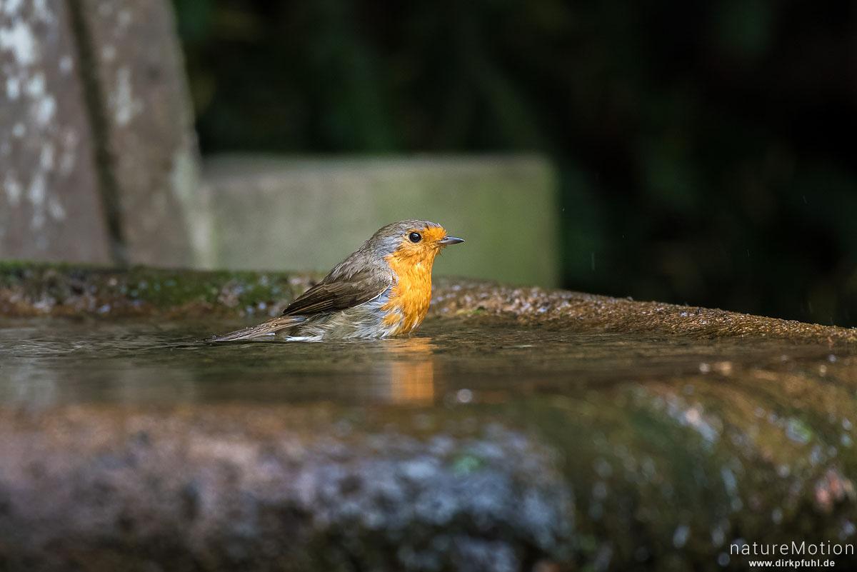 Rotkehlchen, Erithacus rubecula, Fliegenschnäpper (Muscicapidae), Tier an Badestelle, Stadtfriedhof, Göttingen, Deutschland