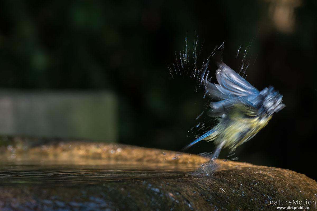 Blaumeise, Cyanistes caeruleus, Syn. Parus caeruleus, Meisen (Paridae), Tier an Badestelle, fliegt ab, Stadtfriedhof, Göttingen, Deutschland