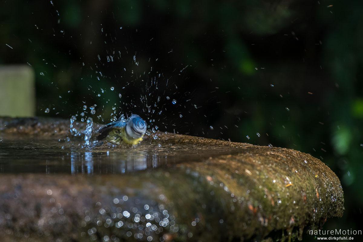 Blaumeise, Cyanistes caeruleus, Syn. Parus caeruleus, Meisen (Paridae), Tier an Badestelle, Stadtfriedhof, Göttingen, Deutschland