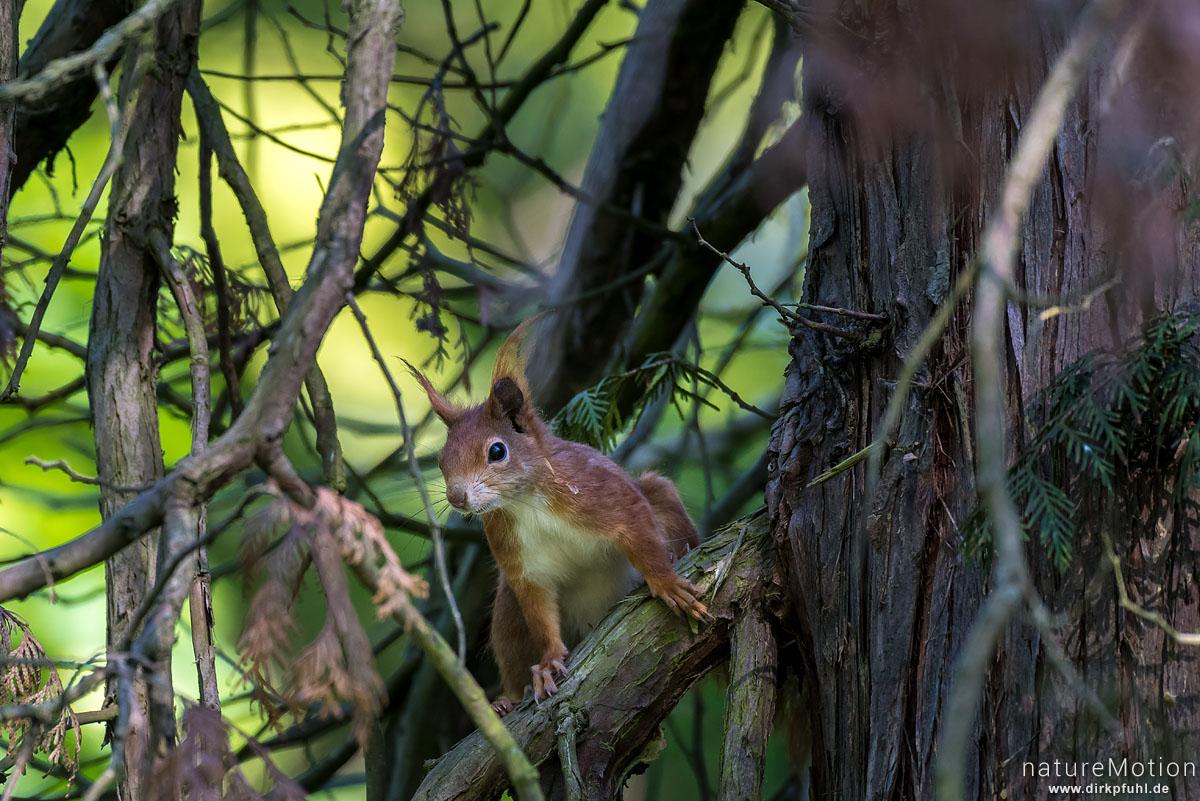 Eichhörnchen, Sciurus vulgaris, Hörnchen (Sciuridae), im Geäst, Stadtfriedhof, Göttingen, Deutschland