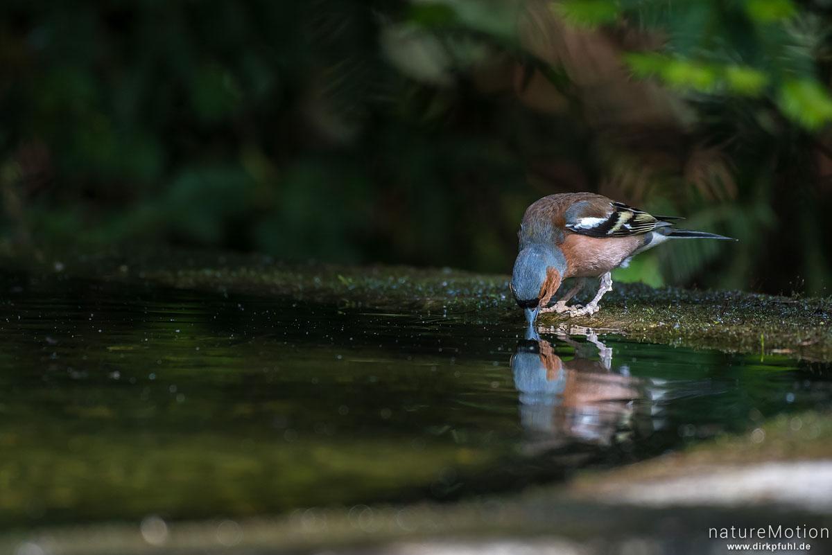 Buchfink, Fringilla coelebs, Finken (Fringillidae), Tier trinkt an Badestelle, Stadtfriedhof, Göttingen, Deutschland