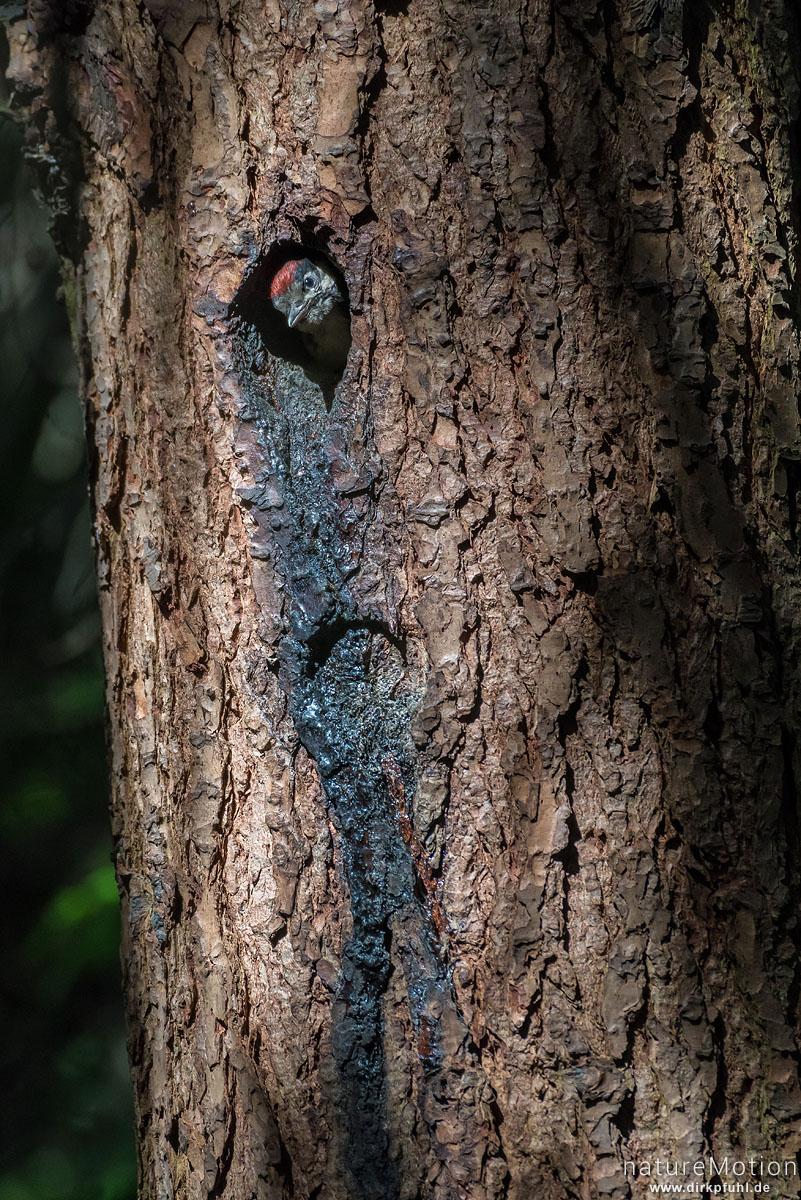 Buntspecht, Dendrocopos major, Spechte (Picidae) Küken schaut aus der Nisthöhle, Stadtfriedhof, Göttingen, Deutschland