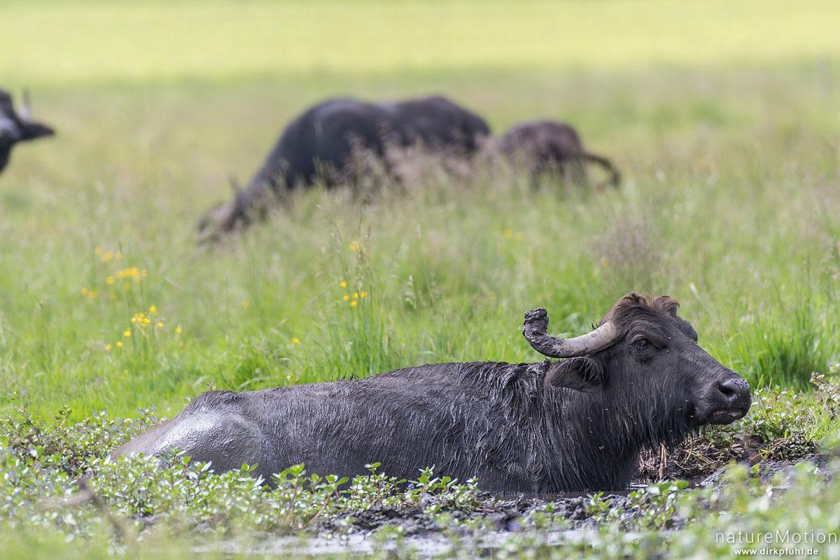 Wasserbüffel, Bubalus arnee, Hornträger (Bovidae), Tier in Suhle, extensive Ganzjahresweide, Wurzacher Ried, Bad Wurzach, Deutschland
