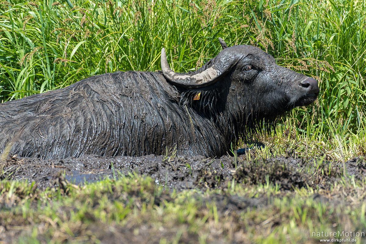 Wasserbüffel, Bubalus arnee, Hornträger (Bovidae), Tier in Suhle, extensive Ganzjahresweide, Argensee, Gebrazhofen, Deutschland