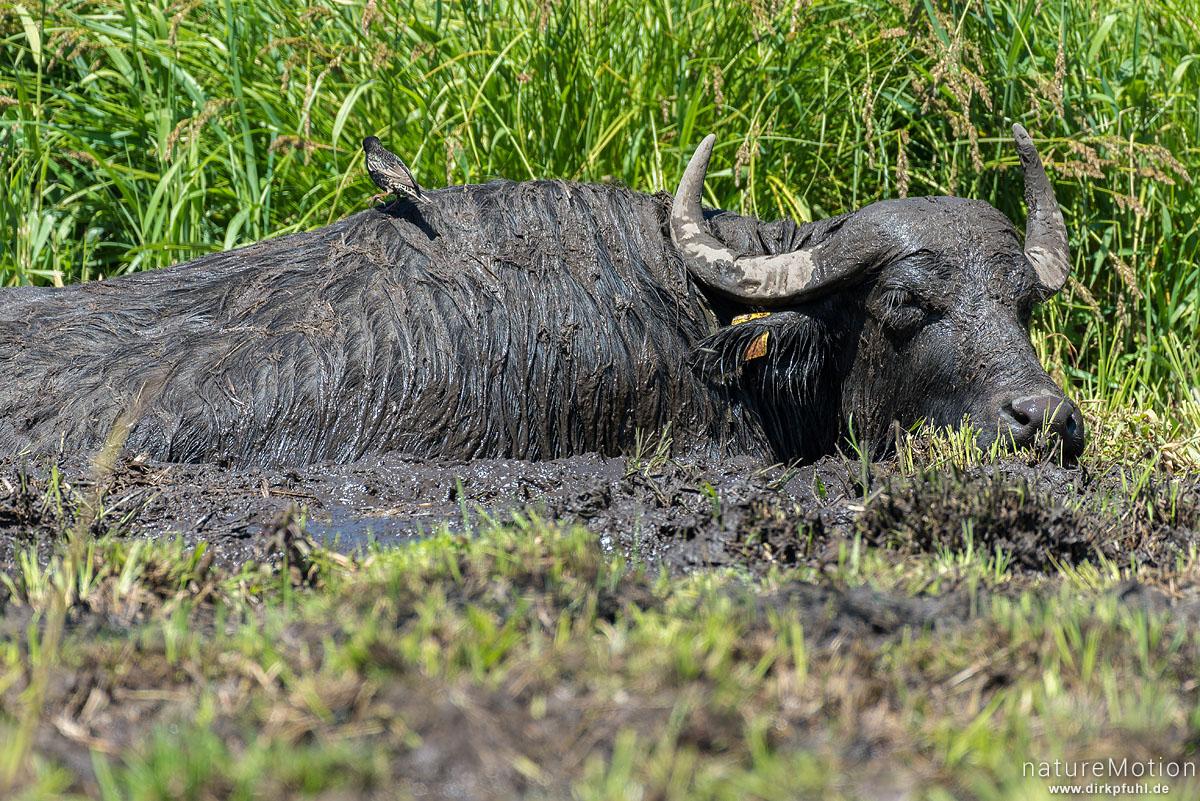 Wasserbüffel, Bubalus arnee, Hornträger (Bovidae), Tier in Suhle, Star sucht nach Parasiten, extensive Ganzjahresweide, Argensee, Gebrazhofen, Deutschland