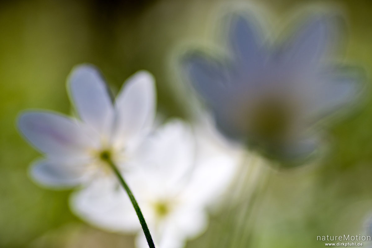Buschwindröschen, Anemone nemorosa, Ranunculaceae, blühende Pflanze in dichtem Bestand, Kehr, Göttinger Wald, Göttingen, Deutschland