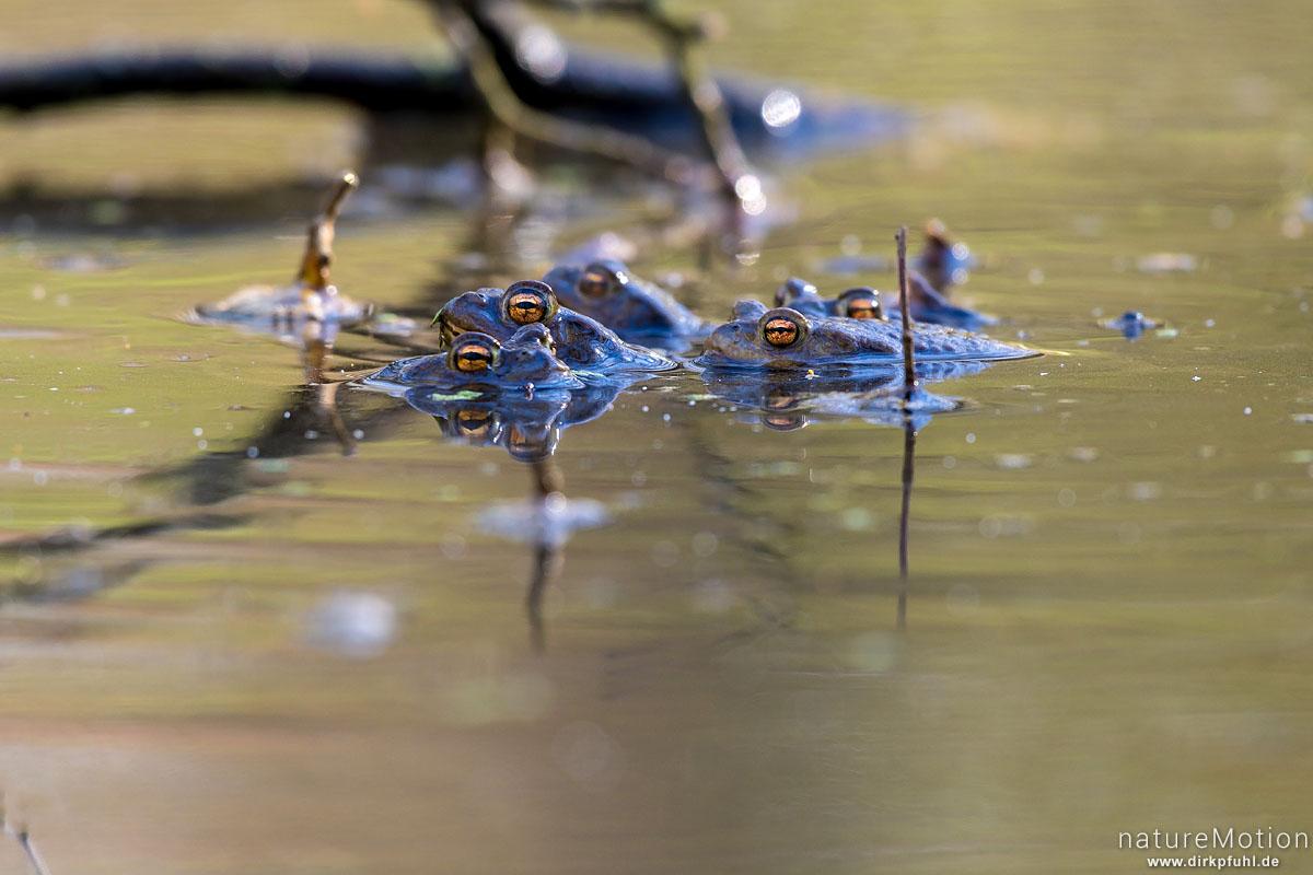 Erdkröte, Bufo bufo, Bufonidae, Tier im Laichgewässer, Waldtümpel, Kehr, Borheckstraße, Göttingen, Deutschland