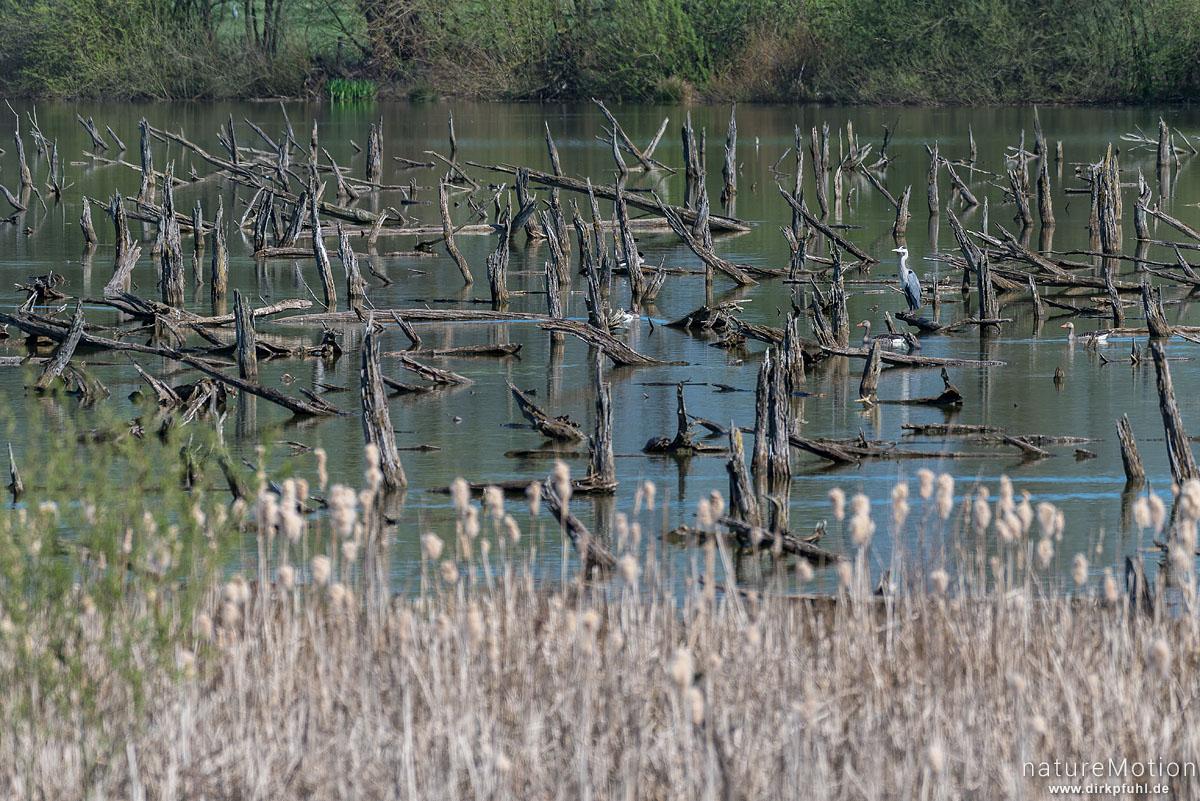 abgestorbene Bäume in wieder vernässter Aue, Graureiher, NSG Lutteranger, Seeburg im Eichsfeld, Deutschland