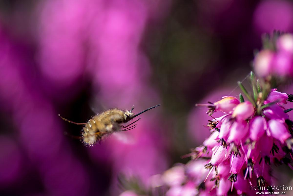 Großer Wollschweber, Bombylius major, Bombyliidae, schwebt an Heideblüten, Experimenteller Botanischer Garten, Göttingen, Deutschland
