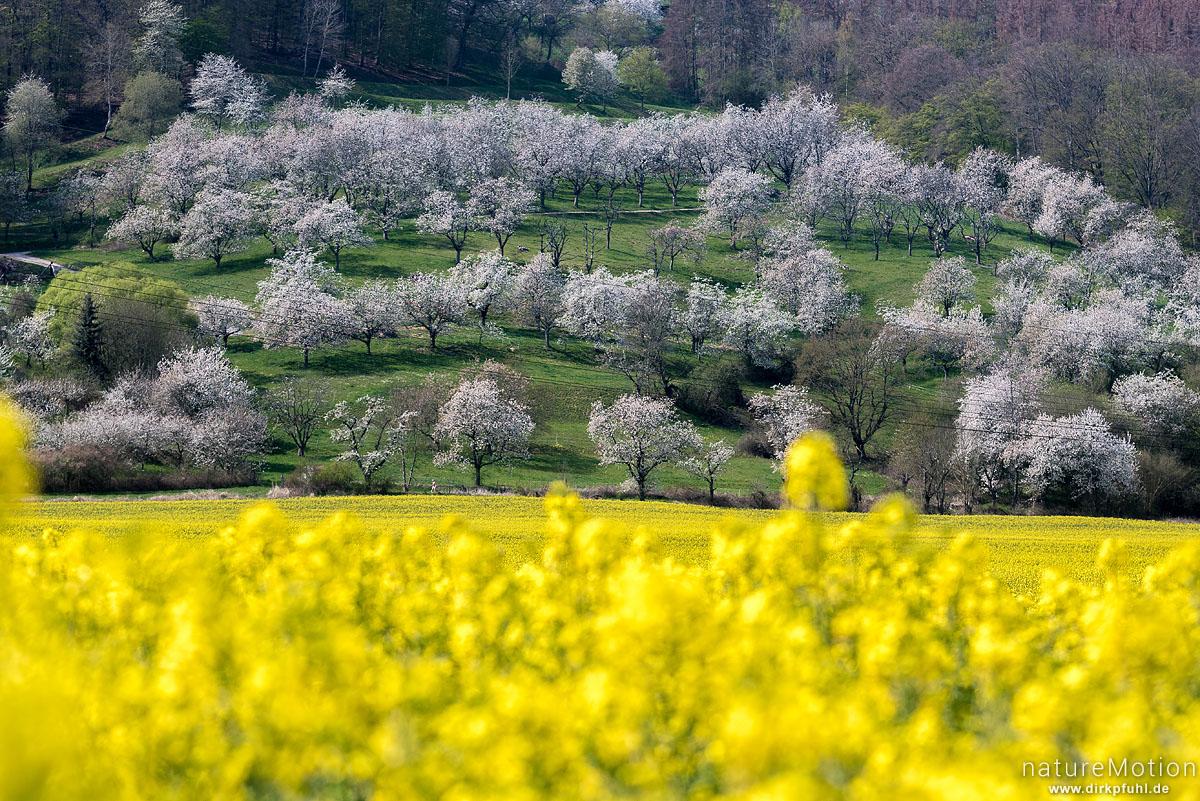 blühende Kirschbäume, Kirschblüte, blühendes Rapsfeld, Wendershausen bei Witzenhausen, Deutschland