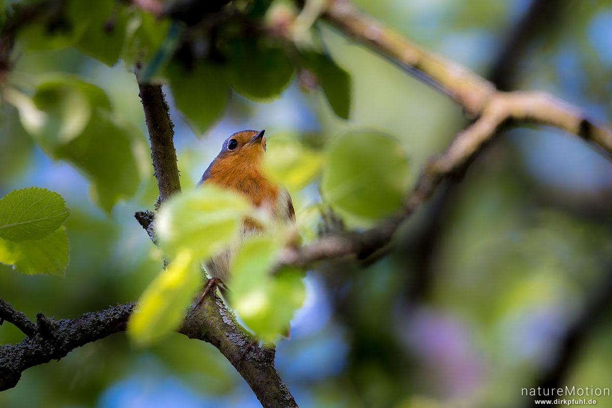 Rotkehlchen, Erithacus rubecula, Fliegenschnäpper (Muscicapidae), Tier sitzt im Geäst eines Apfelbaums, Am Weißen Steine, Göttingen, Deutschland