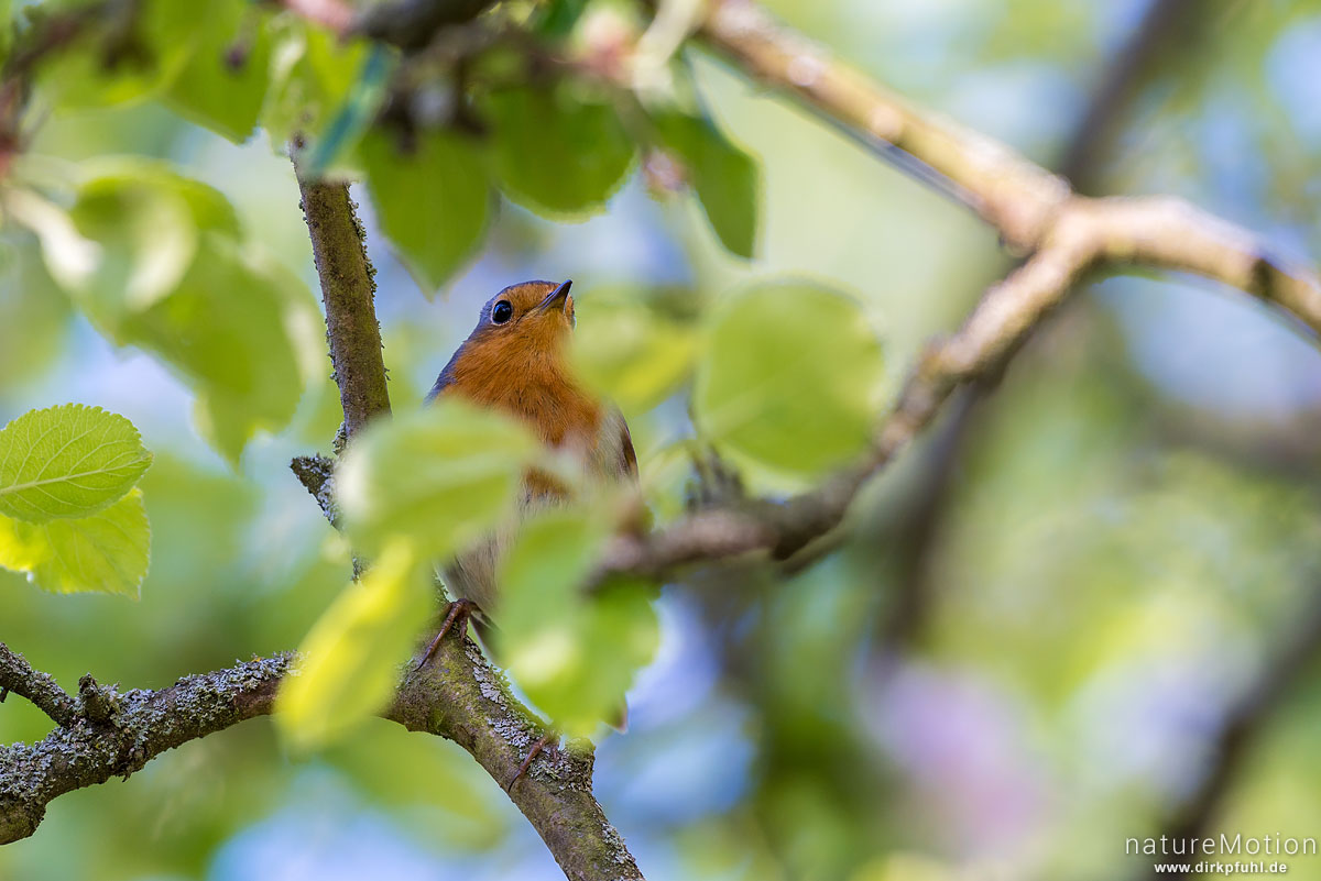 Rotkehlchen, Erithacus rubecula, Fliegenschnäpper (Muscicapidae), sitzt im Geäst eines Apelbaums, Am Weißen Steine, Göttingen, Deutschland