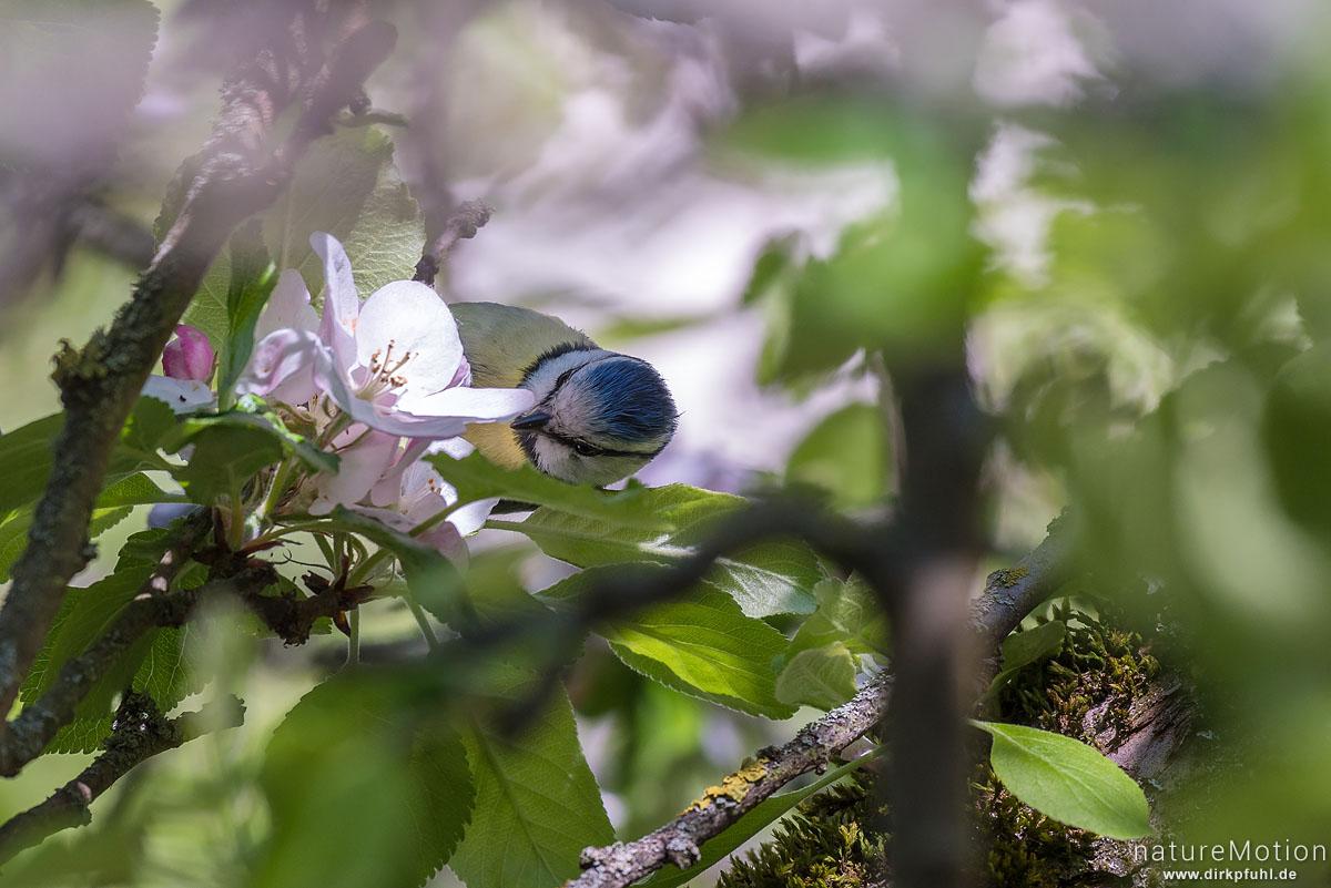 Blaumeise, Cyanistes caeruleus, Syn. Parus caeruleus, Meisen (Paridae),auf Nahrungssuche inden Blüten eines Apfelbaums, Am Weißen Steine, Göttingen, Deutschland