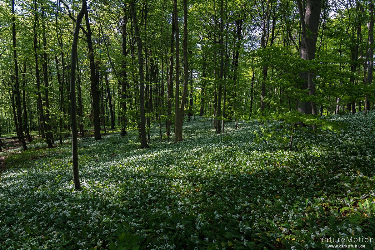 Bärlauch, Allium ursinum, Liliaceae, große Flächen blühender Pflanzen, Westerberg, Göttingen, Deutschland